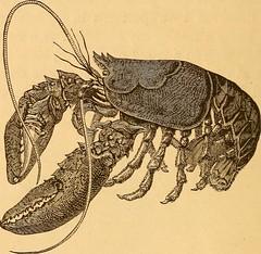 Anglų lietuvių žodynas. Žodis soft-shelled crab reiškia soft-krabų kiautų lietuviškai.