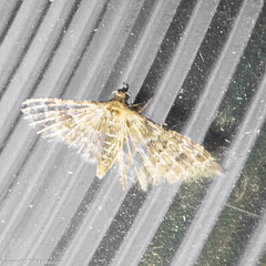 Alucita (Alucitidae) (moonlittrails) Tags: alucitidae eastbay hayward insecta lepidoptera lighttrapping moth nationalmothweek night otherkeywords inaturalist nmw 2014 alamedaco albumnmwhayward