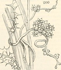 Anglų lietuvių žodynas. Žodis alpine clover reiškia alpių dobilai lietuviškai.