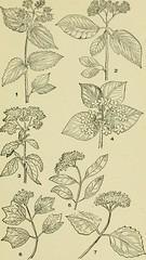 Anglų lietuvių žodynas. Žodis lonicera hirsuta reiškia <li>lonicera hirsuta</li> lietuviškai.