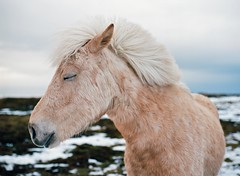 blink (MitchBoudreau) Tags: iceland film mediumformat mamiya645 mamiya 645 animal pet travel travelphotography portrait animalportrait white snow winter farm kodak ektar 100iso kodakektar face blink eyes hair wind nature light country dof depthoffield island love cute thinking flickr bright horse