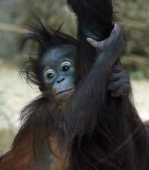 orangutan Ouwehands JN6A9470 (j.a.kok) Tags: orangutan orangoetan orang ouwehands ouwehandsdierenpark ouwehandszoo mammal zoogdier primaat primate ape aap monkey sumatra borneo mensaap sabbar juwel