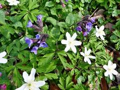 Frühlingsblumen im Schlosspark (mama knipst!) Tags: buschwindröschen lungenkraut wildblume wildflower natur frühling spring märz