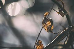 Immortal (Indigo_Flow) Tags: macro closeup nature spring autumn blur bokeh leaves tree lights immortal