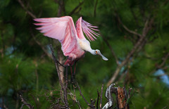 Roseate Spoonbill (ashockenberry) Tags: