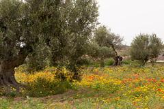 Dans la campagne de Djerba (Pascale Jaquet & Olivier Noaillon) Tags: coquelicots oliviers fleurs benimaaguel djerba tunisie tn
