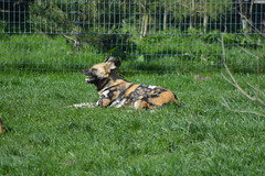 African wild dog (James L Taylor) Tags: yorkshire wildlife park 24316 zoo safair animal african wild dog lycaon pictus