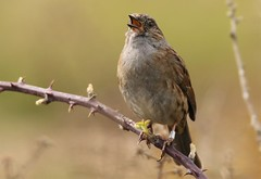 The dunnock (Prunella modularis) (GrahamParryWildlife) Tags: global 150600 sport sigma mk11 mk2 7d canon parry graham grahamparrywildlife kentwildlife rspb dungeness kent outdoor bird great detail feather dunnock prunella modularis singing loud