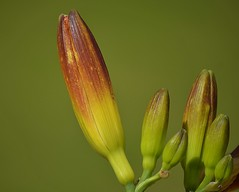Lily Buds (swong95765) Tags: flowers pods buds plant bokeh beautiful pretty creamy lily awesome closeup