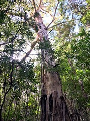 A splendid tree. Clayton's Corner, Port Davey. Tasmania.