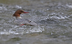 """Goosander - """"What did you say?"""""""