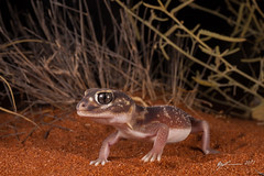 Smooth Knob-tailed Gecko (R. Francis) Tags: smoothknobtailedgecko nephruruslevis roxbydowns southaustralia sanddune ryanfrancis ryanfrancisphotography sa