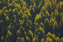 Mattinieri / Early birds (Valgrisenche, Valle D'Aosta, Italy)(Explore!!!) (AndreaPucci) Tags: valgrisenche valledaosta italy summer trees andreapucci canoneos60 alps italian explore