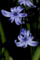 Hyazinthe - Hyacinthus orientalis, NGID710241813 (naturgucker.de) Tags: ngid710241813 naturguckerde hyazinthe hyacinthusorientalis 649561984 2128523129 837121265 chorstschlüter