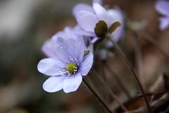 Anemone Hepatica (FrVi) Tags: anemonehepatica fiore floraalpina giorno allaperto clear orobie lombardia nature mountains marzo