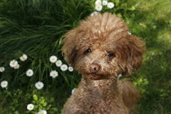 Toby and daisies again (Teresa Terry) Tags: redpoodle barboncinorosso toby