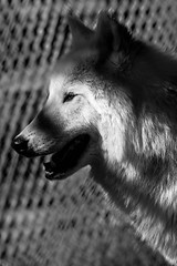caged 4 (chantalliekens) Tags: wolves wildlife animal mammal canislupus wolddog wolf caged outdoor pet wildanimal nikon nikond600 monochrome