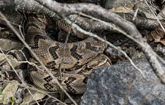 Rattlesnake Duo (Jim-B-1979) Tags: timberrattlesnake crotalushorridus reptile nature basking hibernacula venomous