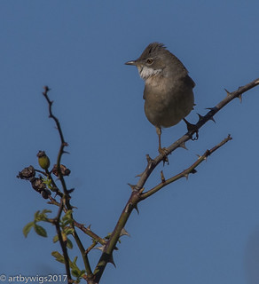 white throat 14-04-2017 Rye Harbour-4140216