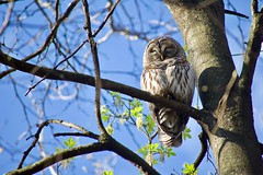 Barred Owl (justinbuchli) Tags: barred sleepy sleeping bird prey predator raptor tree roosting branch sitting