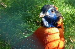 Temminck's tragopan - Temmincks saterhoen in Avifauna (joeke pieters) Tags: 1300918 panasonicdmcfz150 avifauna temminckssaterhoen tragopantemminckii temminckstragopan temmincktragopan tragopandetemminck vogel bird