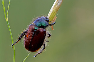 Phyllopertha horticola - the Garden Chafer