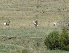 Pronghorn herd leaving (Bug Eric) Tags: animals wildlife nature outdoors mammals jimmycampcreekpark coloradosprings colorado usa pronghorn herd fleeing running northamerica april182017