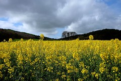 'Now that April's here'   (HSoS!) (violetchicken977) Tags: smileonsunday seasonsbeauty april clouds showers sun yellowflowers