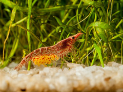 Y3188275-Bearbeitet.jpg (Tini X) Tags: shrimp ocean schwanger garnele coctail aquarium paludarium redfire red green