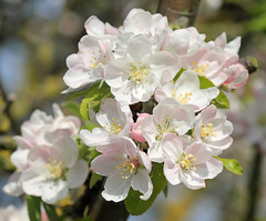 Season's Beauty - For Smile On Saturday :-) (RiverCrouchWalker) Tags: seasonsbeauty smileonsaturday blossom uk spring southwoodhamferrers essex appleblossom april 2017
