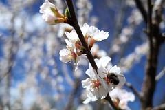 (ulyssesep) Tags: inspect bug bee