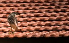 Bird (adityauppoor) Tags: bird nikon roof india pondicherry wildlife outdoor