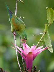 Orange-chinned Parakeet (anacm.silva) Tags: orangechinnedparakeet parakeet ave bird wild wildlife nature natureza naturaleza periquito birds aves bocatapada costarica brotogerisjugularis