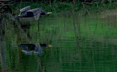 Komoran an der Enz - da habe ich Tage drauf gewartet ... (bianka.spindler) Tags: kormoran enz fluss pforzheim im flug vogel