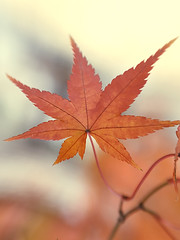 Maple by Vertical View (Johnnie Shene Photography(Thanks, 2Million+ Views)) Tags: maple maples leaf leafs leaves red brown nature natural wild wildlife livingorganism tranquility outdoor colourimage fragility freshness nopeople foregroundfocus adjustment fulllength vertical photography macro closeup magnified serenity calm autumn fall collection beautiful wonder awe interesting lighteffect depthoffield solemn korea korean plant dead seasonal season meaning desolate vivid sharpness canon eos600d rebelt3i kissx5 sigma 1770mm f284 dc lens 단풍 단풍잎 잎 가을 낙엽