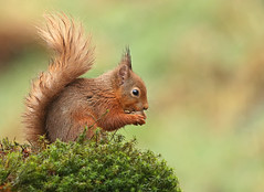 Red Squirrel (oddie25) Tags: canon 1dx 600mmf4ii squirrel redsquirrel scotland scottishhighlands scottishhides nature naturephotography wildlife wildlifephotography