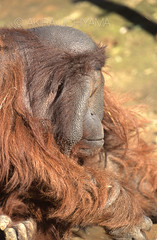 ZOO0146 (Akira Uchiyama) Tags: 動物たちのいろいろ 耳 耳オランウータン