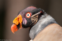 King Vulture (Matt Cuda - www.mattcuda.com) Tags: sarcoramphuspapa usa bird birds close closeup colorful detailed horitonal kingvulture mattcuda nc northcarolina orange portrait raptor raptors red southamerica stunning vulture