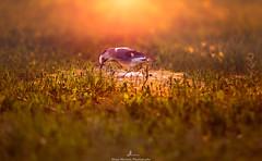 Jay Eurasian at sunset (MoeenMustafa) Tags: jay bird eurasian photography landscape sunset amman jordan wildlife