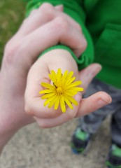 Little Flower (SurFeRGiRL30) Tags: hand hands littlehand flower yellow yellowflower dandelion sweet precious weed beautiful nj