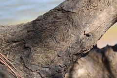 2017-04-02_10-24-18 (Thirsty Hrothgar) Tags: texture wood driftwood stump markings etched carve