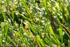drops grass (Massimiliano Grossi) Tags: drop grass green goccia goccie rugiada xt1 xf1555f28 fujinon1655f28