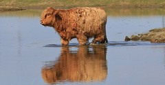Highlander............. (nick.linda) Tags: highlandcattle highlander rspbsaltholme wading cows bulls cattle grazing scottish pool lakes reserve canon7dmkii sigma150600c
