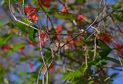 The Crown in the Tree (BKHagar *Kim*) Tags: bkhagar crown vines woven nature curliques twisted limestonecounty al alabama