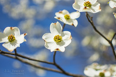 Easter Dogwood Flowers (J.L. Ramsaur Photography) Tags: jlrphotography nikond7200 nikon d7200 photography photo cookevilletn middletennessee putnamcounty tennessee 2017 engineerswithcameras cumberlandplateau photographyforgod thesouth southernphotography screamofthephotographer ibeauty jlramsaurphotography photograph pic cookevegas cookeville tennesseephotographer cookevilletennessee dogwood dogwoodflowers dogwoodblossoms dogwoodblooms floweringtrees flower flowers whiteflower legendofthedogwood easter eastersunday bluesky deepbluesky beautifulsky nature outdoors macro macrophotography closeupphotography closeup dof depthoffield bokeh god'sartwork nature'spaintbrush rural ruralamerica ruraltennessee ruralview easterdogwoodflowers dogwoodlegend easterdoogwood