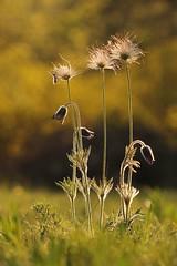 Nuovo! (SimonaPolp) Tags: pulsatilla flowers fiori april aprile spring springtime primavera bokeh sunset tramonto nature natura macro