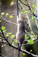 rat antics 1 (the.haggishunter) Tags: wild wildlife nature rodent animal rat brown hungry feeders