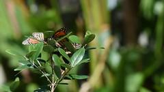 Monarch Mania DSC_7147 (blthornburgh) Tags: thornburgh tampa florida monarch monarchdanausplexippus milkweedbutterfly garden backyard video butterfly raisingbutterflies