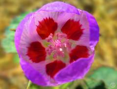 Lavender Crimson Star (splinx1) Tags: hdr handheld canonart canonpowershotelph330hs chdk desert windflower tan green lavender red
