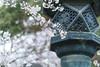 IMG_1072 (Jun.Ohashi) Tags: cherryblossom flower park sakura sunny ueno uenopark 上野 上野公園 上野恩賜公園 公園 晴れ 晴天 桜 植物 自然 花 台東区 東京都 日本 jp canon キャノン eos eos5dmarkiv eos5dmark4 5dmarkiv 5dmark4 5d4 sigma50mmf14dghsmart sigma シグマ 50mm f14 dg hsm art